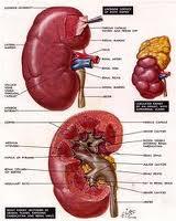 Obat Infeksi Ginjal